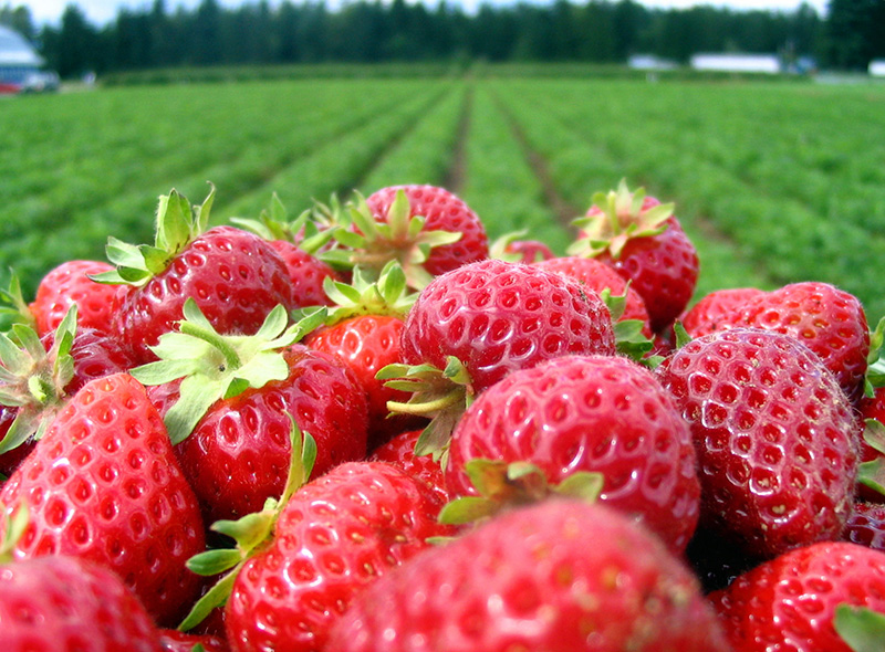 Natural Strawberries and Strawberry Farm Information