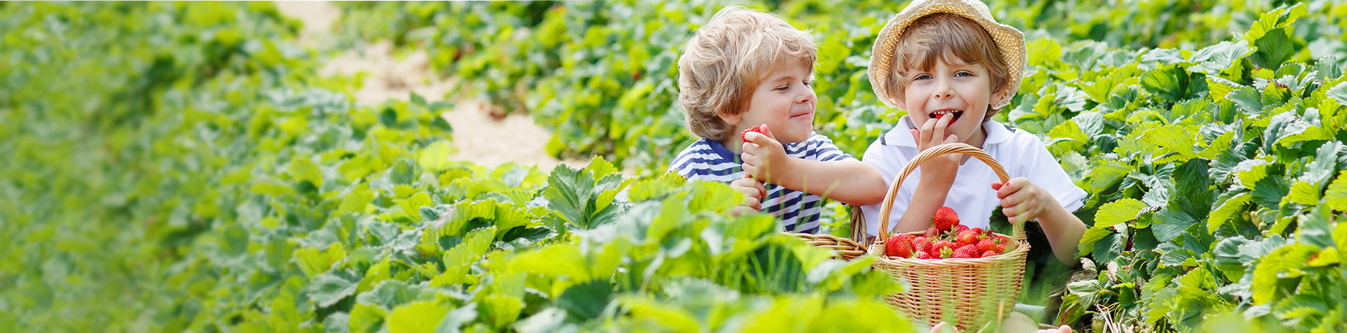 Find NC Strawberry Farms and Strawberry Consumer Information