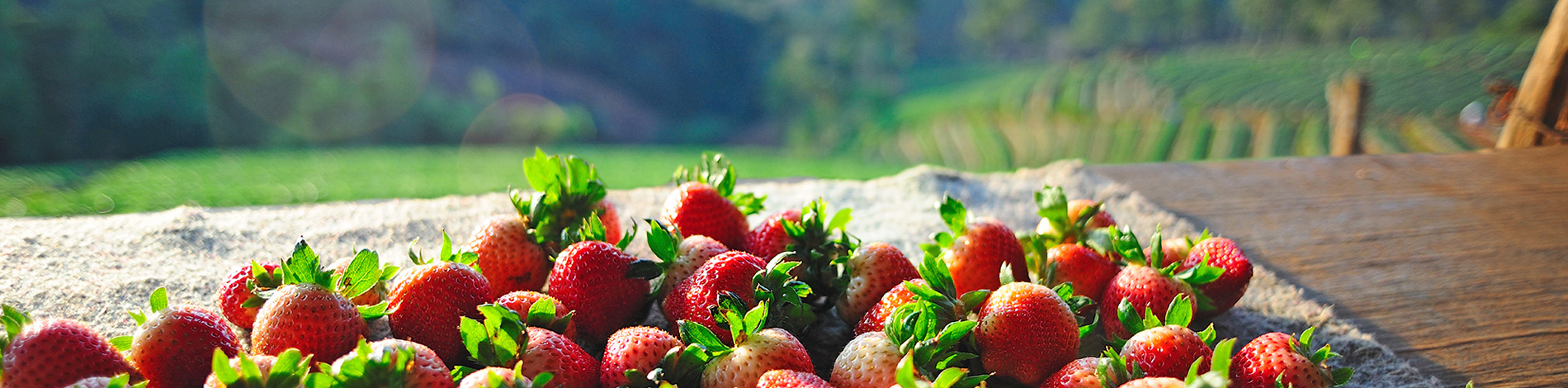 NC Strawberry Farm information and Strawberry Education Information