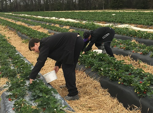 News: Strawberry Crop Timely, Abundant