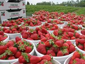 NC Strawberries