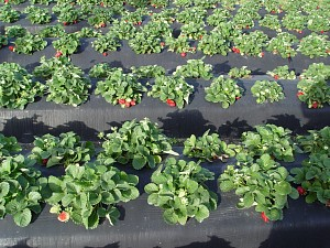 Organic NC Strawberry Farms Strawberry Growers