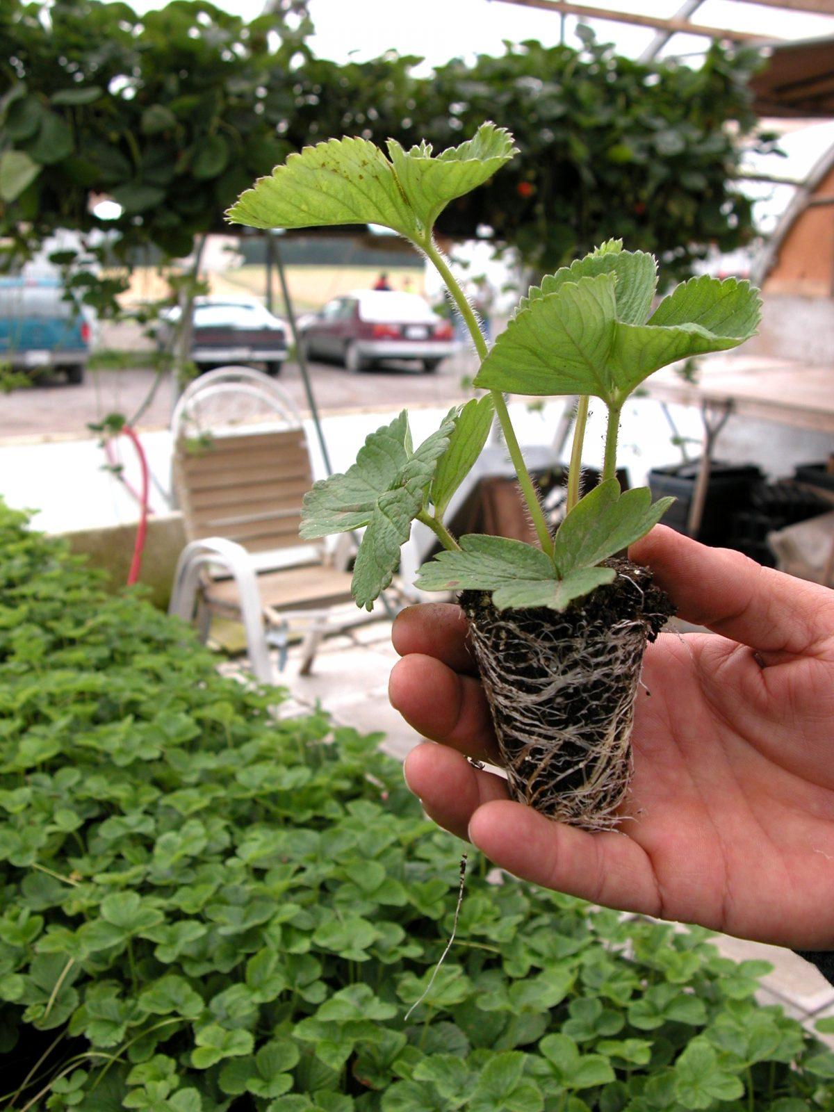 (3) Virginia Strawberry Pre-Plant Meetings