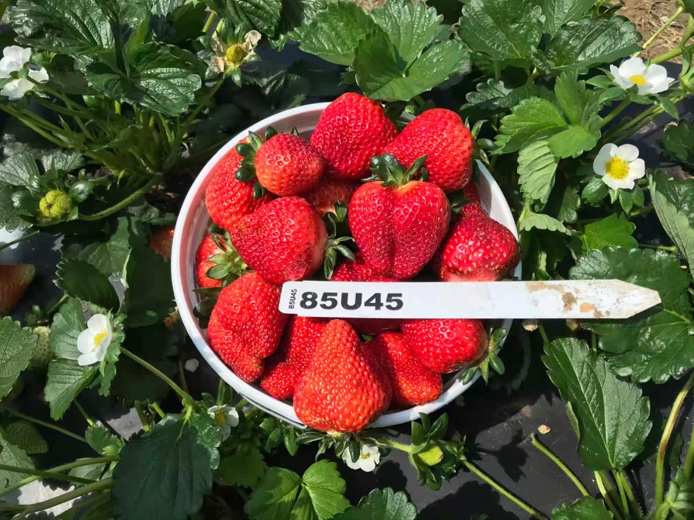 🍓 4th Annual Strawberry Variety and Advanced Selection Showcase🍓